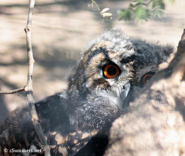 Owl eye small